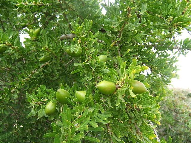 argan ağacı