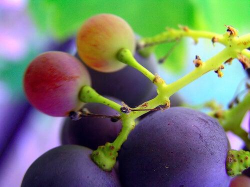 dalında üzüm