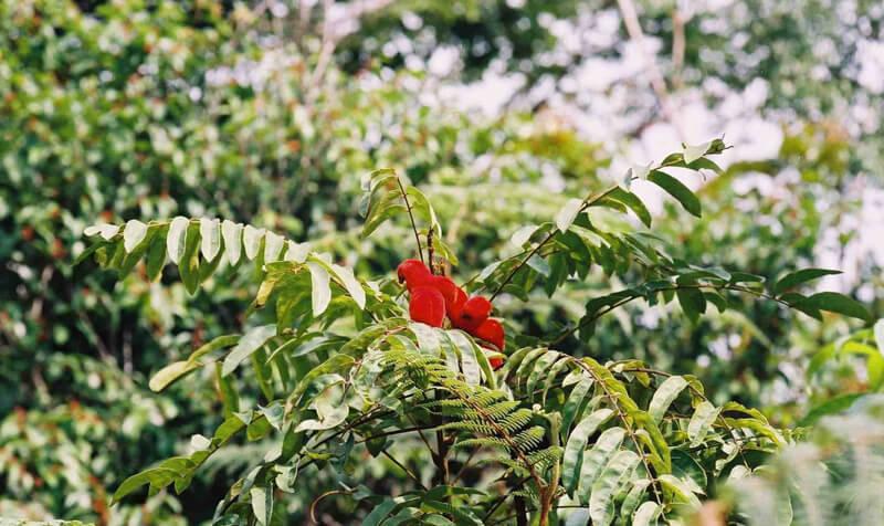 borotutu bitkisi