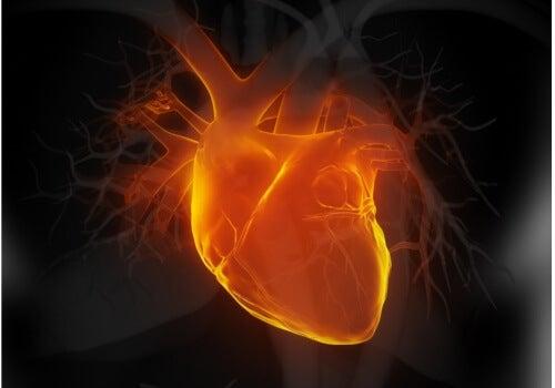 kalp organı