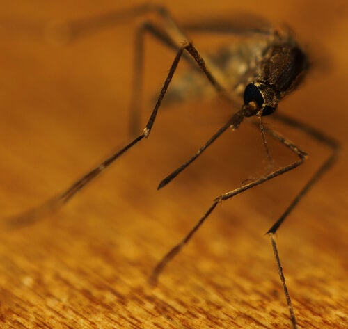 sivrisinek2