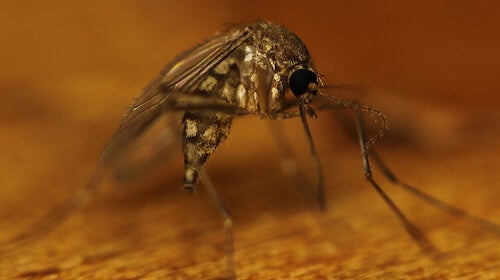 sivrisinek4