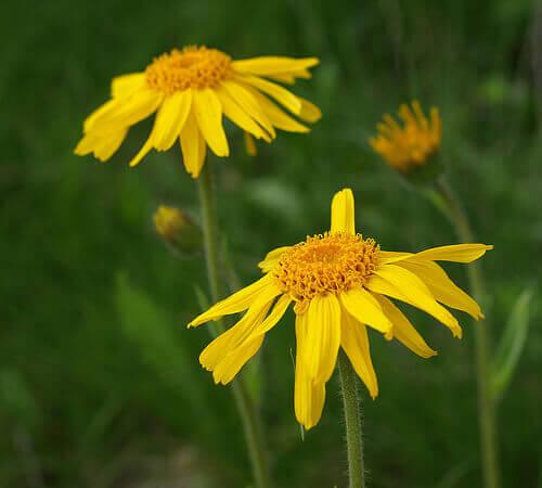 öküzgözü çiçeği