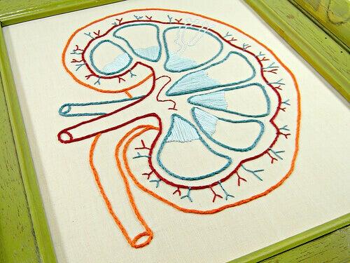 böbrek organı çizim