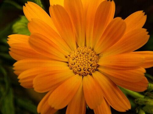 kadife-çiçeği
