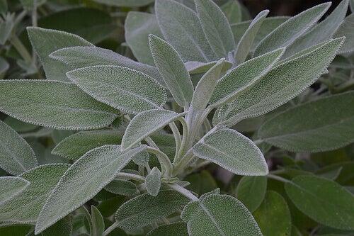 ada çayı şifalı bir bitki