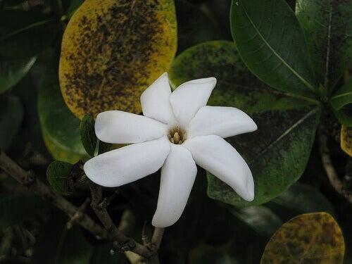tiare çiçeği
