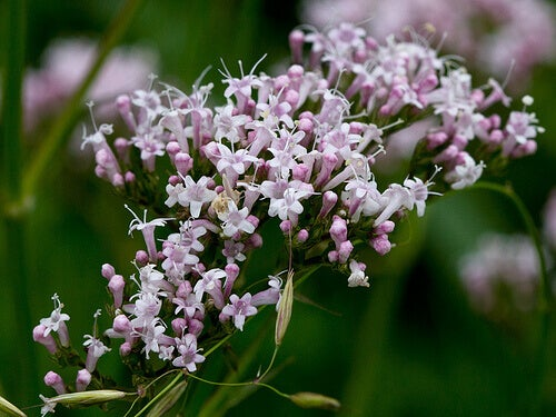 valeriana-a-plant-for-treating-insomnia