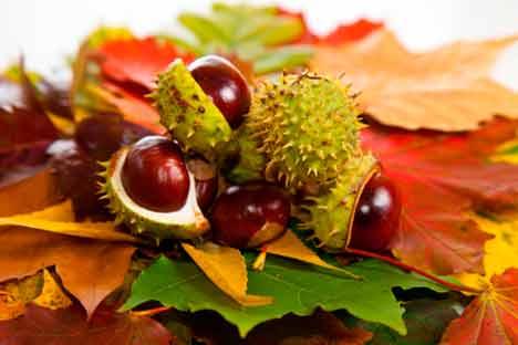 Indian-horse-chestnut1