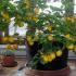 limon-agaci2