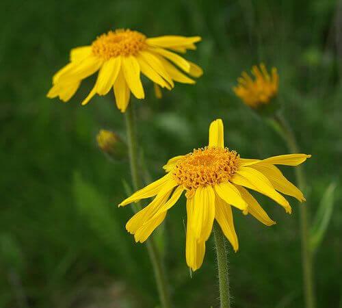 sarı papatya çiçeği