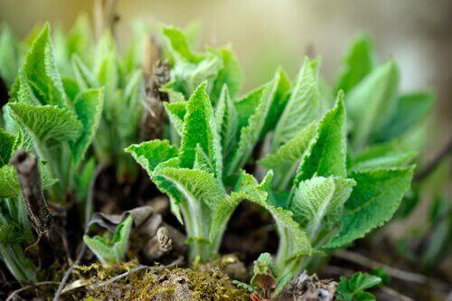 ada çayı bitkisi