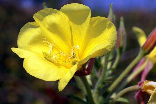 gece sefası çiçeği