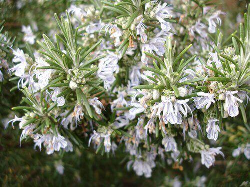 biberiye çiçek