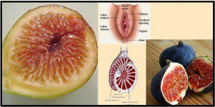incir cinsel organ