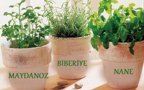 Evde Şifalı Bitki Yetiştirmek: Biberiye, Nane ve Maydanoz
