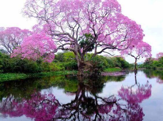 pembe çiçekli ağaç