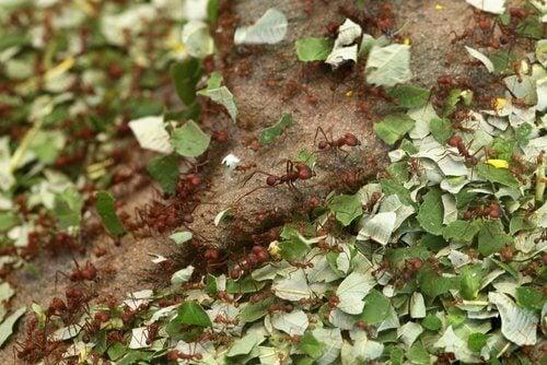 yaprak taşıyan karıncalar