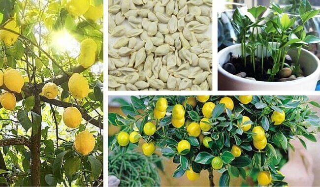 Evde Limon Çekirdeği Filizlendirmek