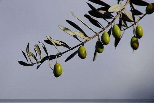 zeytin dalı ve zeytinler
