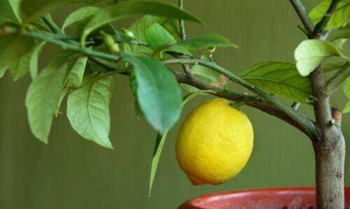 saksıda limon ağacı