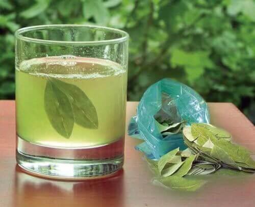 avokado yaprağı çayı