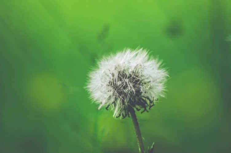 karahindiba çiçeği