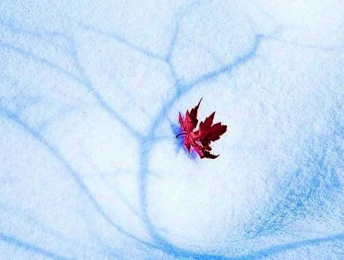 karda kırmızı yaprak