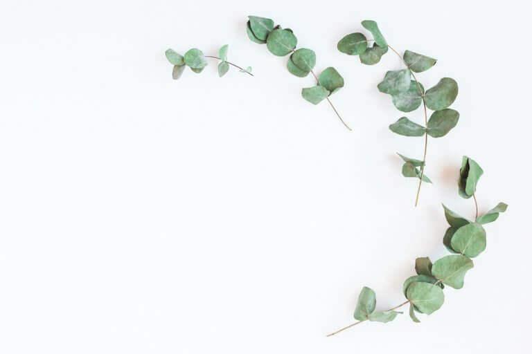 okaliptüs yaprakları