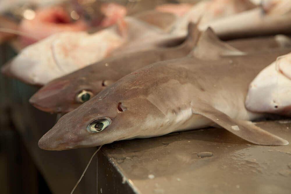 riskli balık türü olan kedibalığı