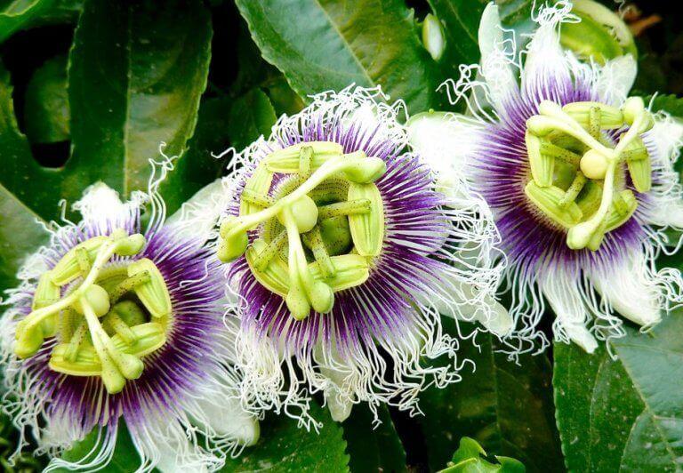 anksiyete (kaygı) bozukluğu için çarkıfelek çiçeği
