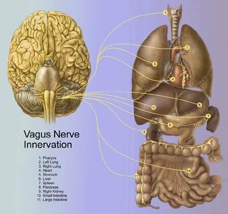 beyin ve vücutta kontrol ettiği bölgeler