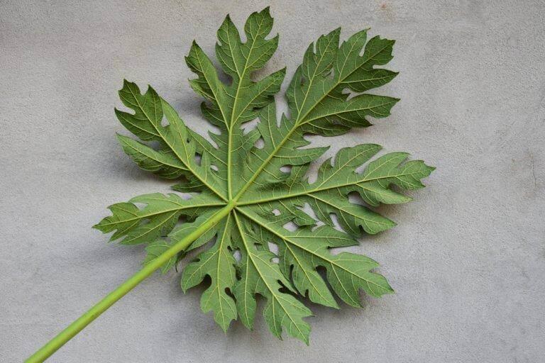papaya yaprağı