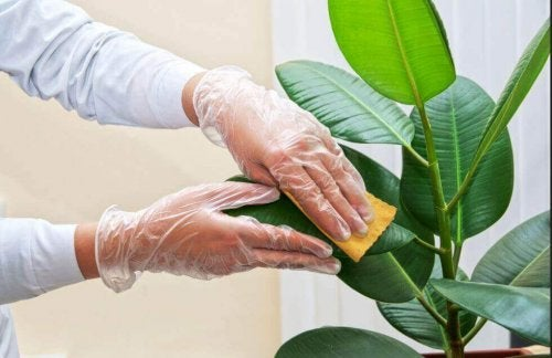Saksı Bitkilerinin Yapraklarını Temizlemek için İpuçları