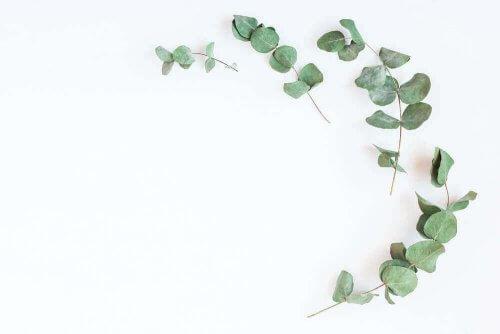 diyabet için şifalı bitkiler arasında olan okaliptüs