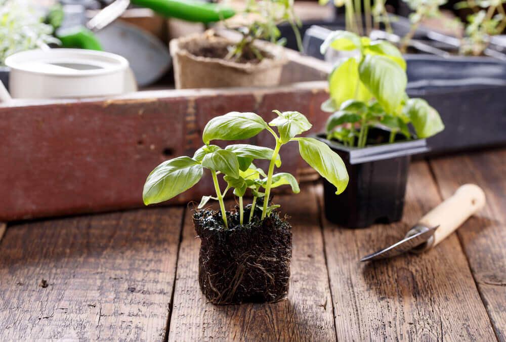 aromatik bahçenizi oluşturun dikilmeye hazır bitki