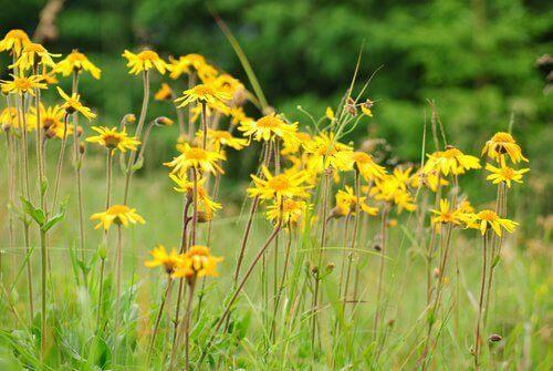 eklem iltihabı sarı çiçek