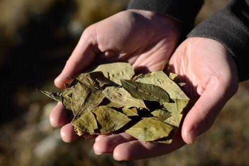 elde koka yaprağı