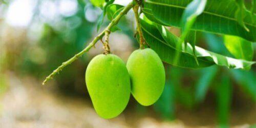 mango ağacı yaprakları ve kan şekeri