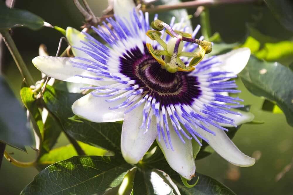çarkıfelek çiçeği çayı