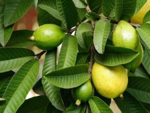 yeşil guava yaprakları ve meyvesi