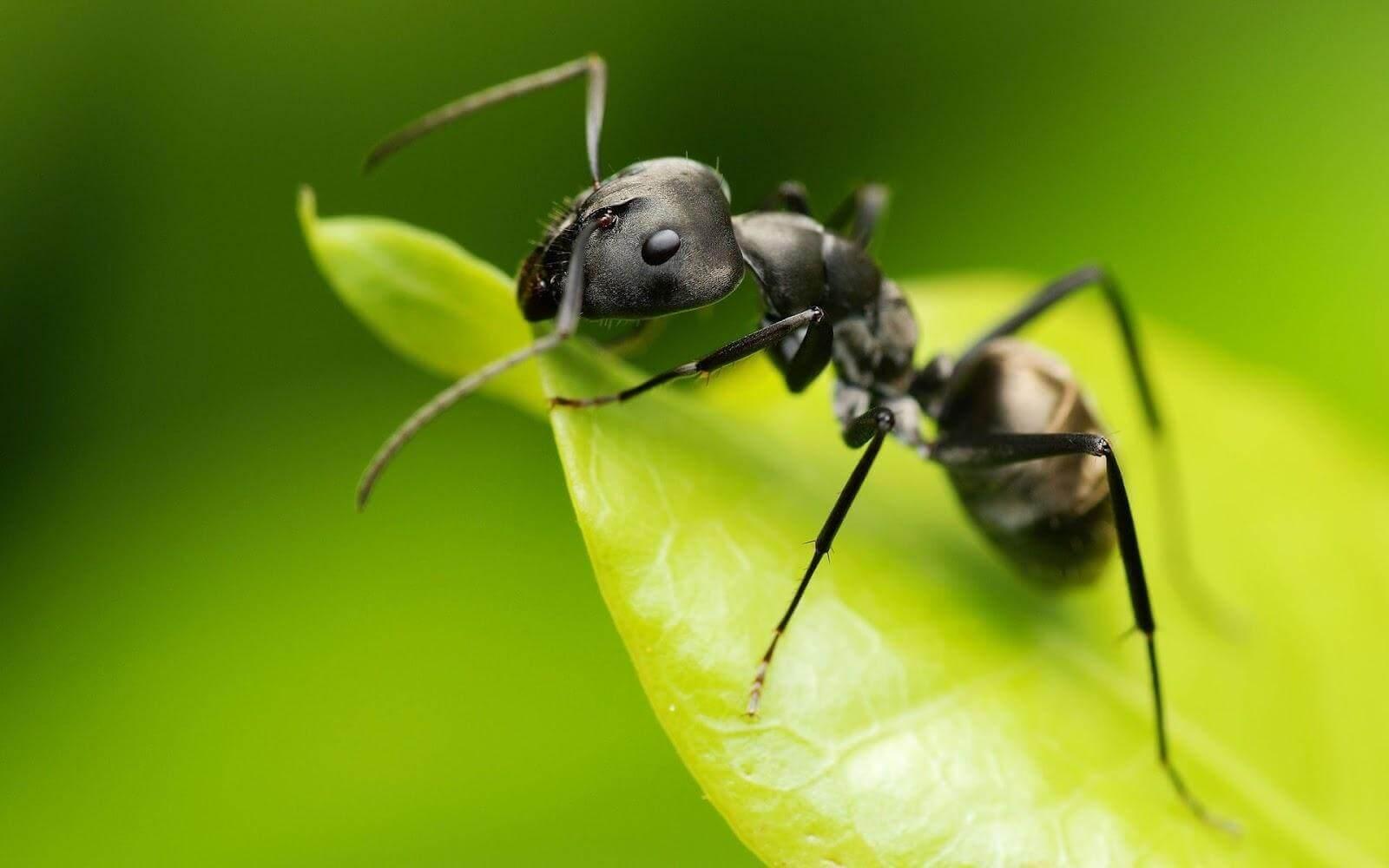 yaprakta karınca