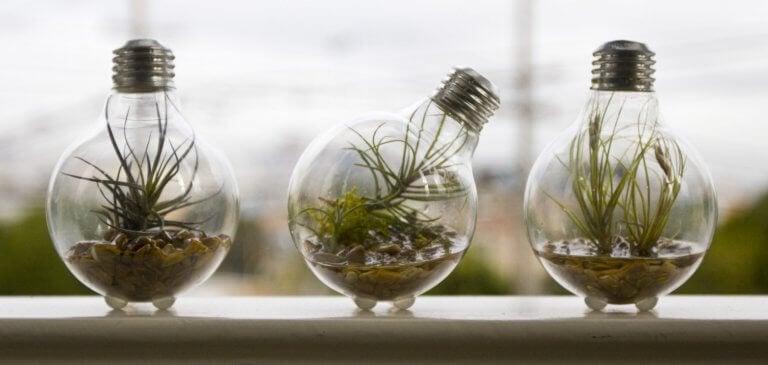 üç ampul bitkisi