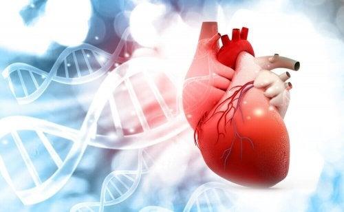 kalp organ