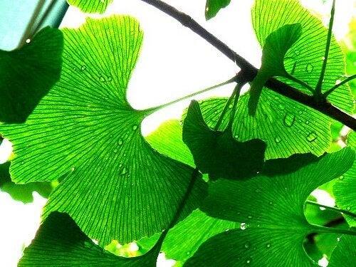 ginkgo biloba yaprağı