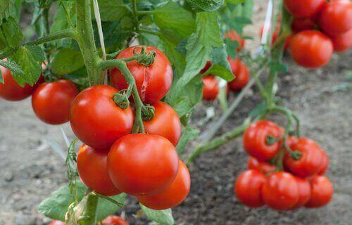 dalında domatesler