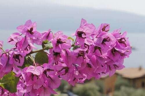 mor çiçekli trinitaria bitkisi
