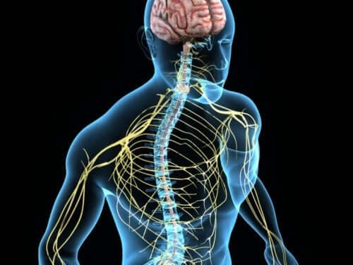 İnsanlarda sinir sistemi