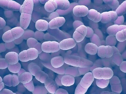 B grubu strep'in mikroskop altında görünüşü.