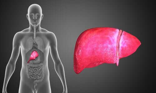 insan vücudu karaciğer